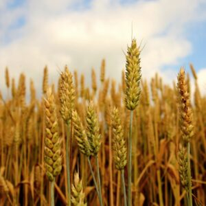 plantação de trigo
